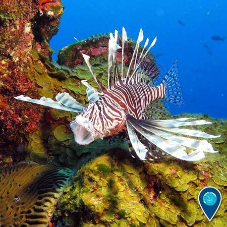 photo of a lionfish