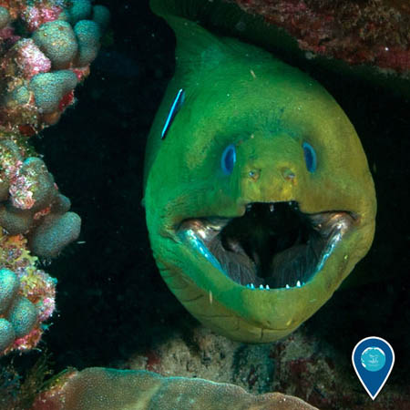 photo of a green morray eel