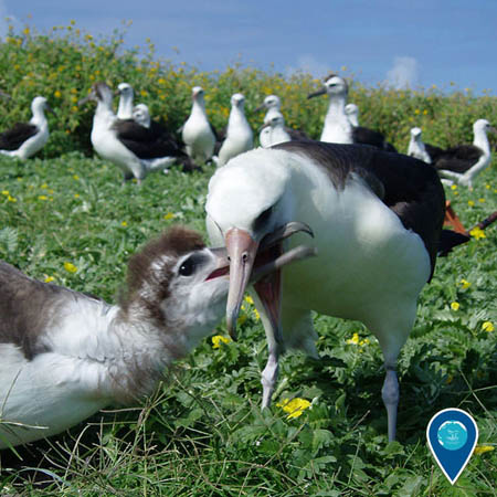photo of an albatross feeding a chick