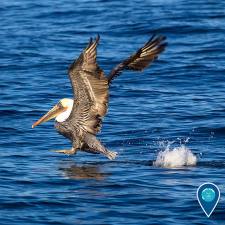 photo of a brown pelican