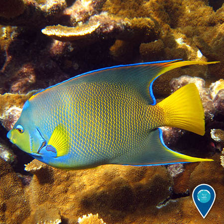 photo of an angelfish