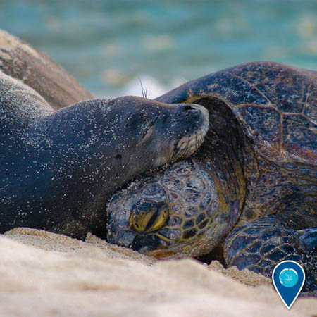 photo of a monk seal and turtle cuddling