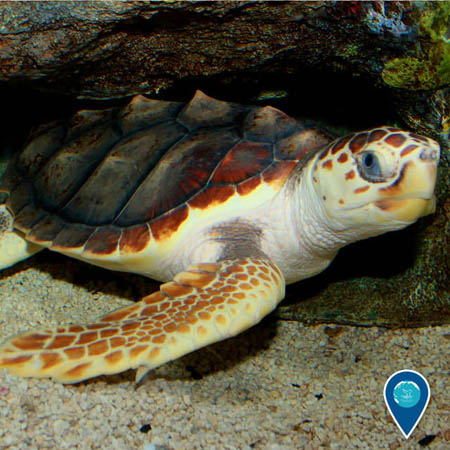 photo of a loggerhead turtle