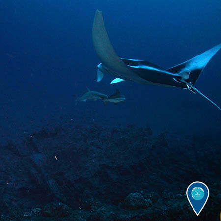 photo of manta ray