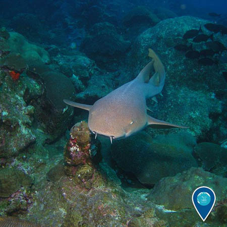 photo of a nurse shark