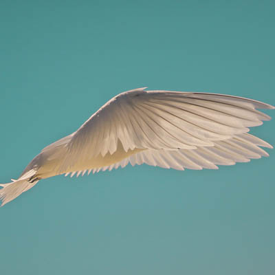 photo of a white bird in flight with wings forward over body
