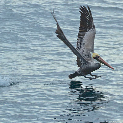 photo of a pelican taking off