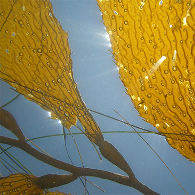 photo of a close up of giant kelp