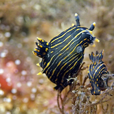 photo of 2 nudibranchs