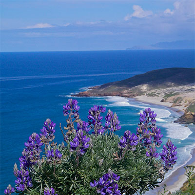 photo of a beatiful blue flower bush with cliffs and shore in the background