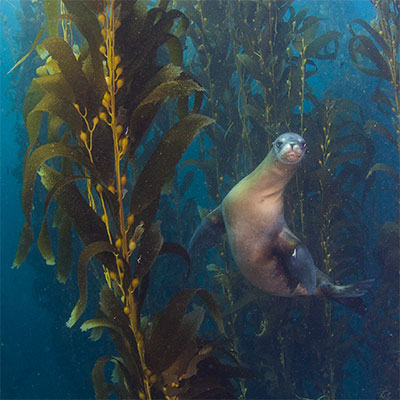photo of a sea lion and kelp