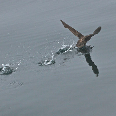 photo of a sooty shearwater landing on water