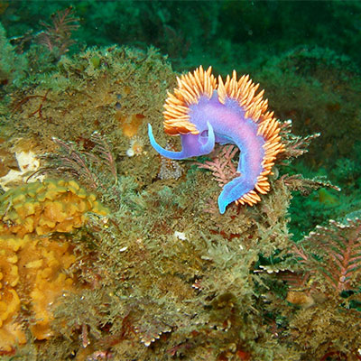 photo of a spanish shawl nudibranch