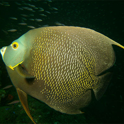 photo of a an angelfish