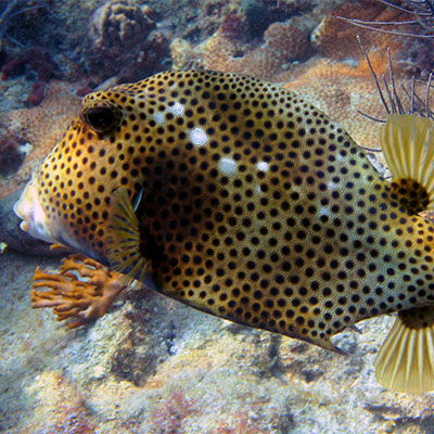 photo of a spotted trunkfish