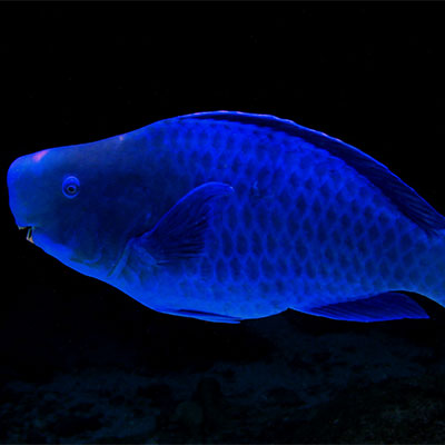 photo of a blue parrotfish