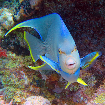 photo of a blue angelfish