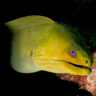 photo of a green moray eel