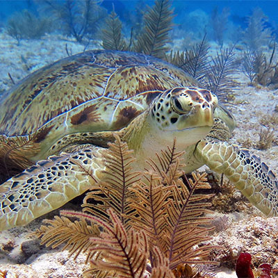 photo of a green sea turtle