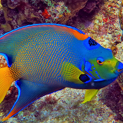 photo of very colorful queen angelfish