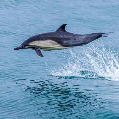 photo of a common dolphin