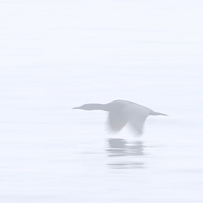 photo of a cormorant in the fog