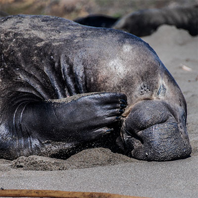 photo of a male elephant seal