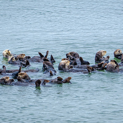 photo of a raft of sea otters