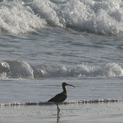 photo of a whimbrel in the sand