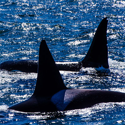 photo of two orcas