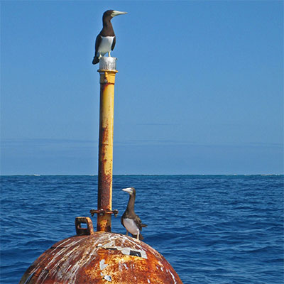 photo of two brown boobies on a buoy