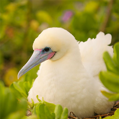 photo of a red-footed booby