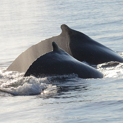 photo of a humpback and calf