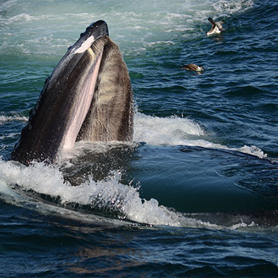 photo of a humpback opening mouth to feed