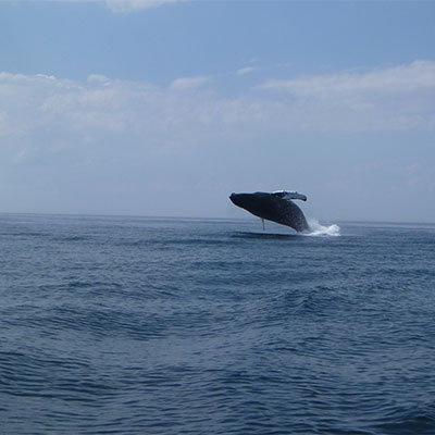 photo of a breaching humpback whale