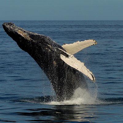 photo of a humpback whale breaching