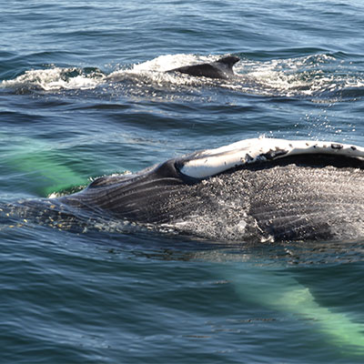 photo of a humpback whale and calf