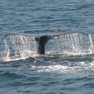photo of a humpback whale and it's fluke