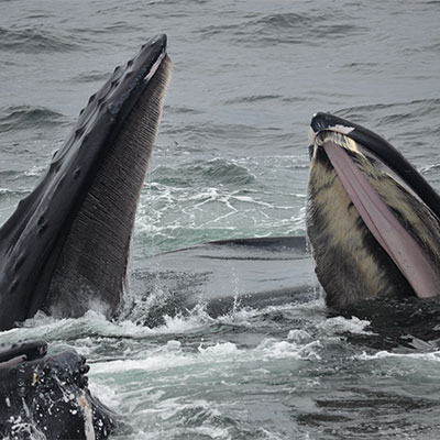 photo of three humpback whales