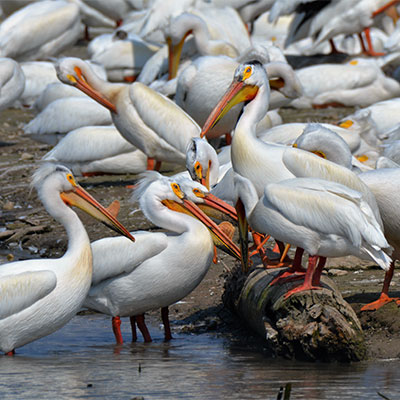 photo of american white pelicans