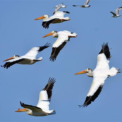 photo of american white pelicans in flight