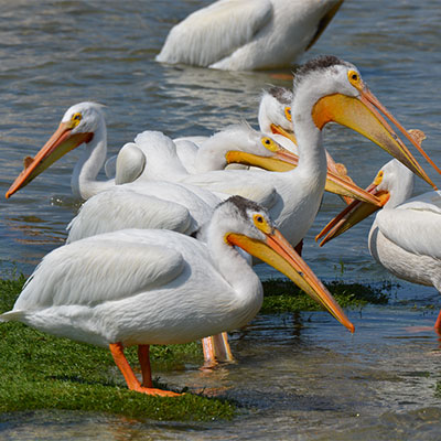 photo of a flock of pelicans