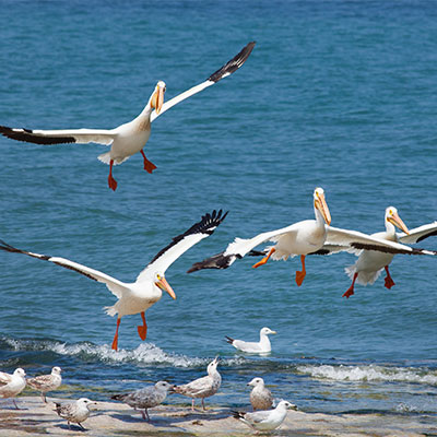 photo of pelicans and seagulls