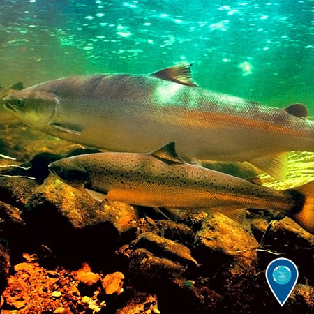 photo of coho salmon