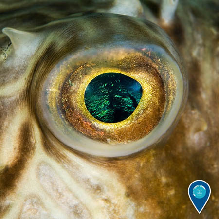pufferfish eye