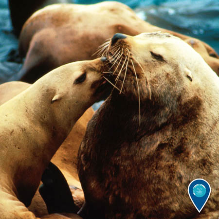 photo of sealions