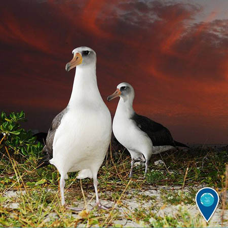 photo of laysan albatross