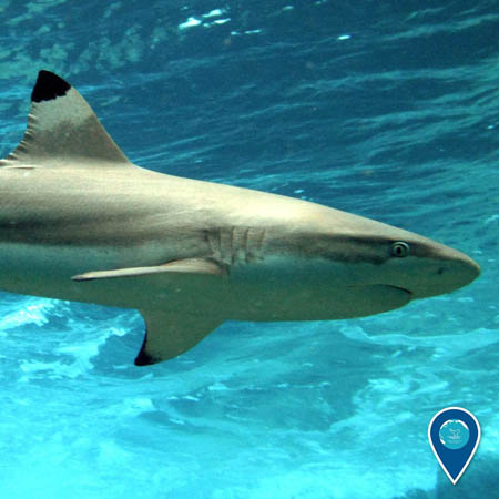 photo of a black tip reef shark