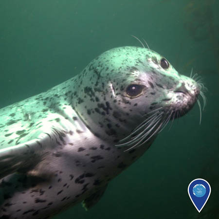 photo of harbor seal