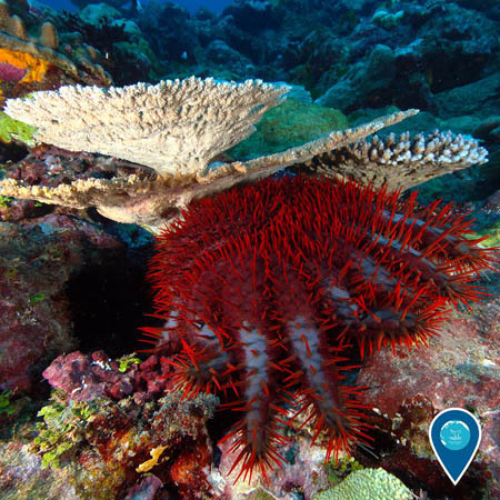 photo of red crown of thorns starfish